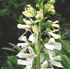 Digitalis 'Saltwood Summer' (Orchid Foxglove)