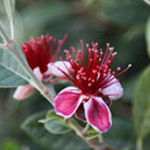 Acca sellowiana (pineapple guava (syn. Feijoa))