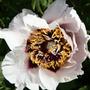 Paeonia rockii 'Xue Lian' (tree peony / tree paeony (syn Snowy Lotus))