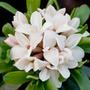 Daphne x transatlantica Eternal Fragrance ('Blafra') (PBR) (daphne)