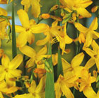 Crocosmia x crocosmiiflora 'George Davison' (montbretia bulbs)