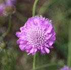 Scabiosa 'Pink Mist' (PBR) (pincushion flower)