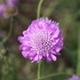 Scabiosa 'Pink Mist' (PBR) (pincushion flower)
