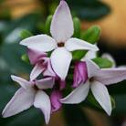 Daphne tangutica Retusa Group (daphne)