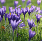 Crocus speciosus 'Conqueror' (autumn crocus bulbs)