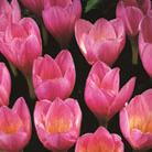 Crocus kotschyanus (crocus Zonatus   autumn flowering crocus bulbs)