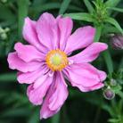 Anemone hupehensis var. japonica 'Prinz Heinrich' (Japanese anemone)