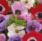 Anemone coronaria De Caen Group Mixed (anemone bulbs)