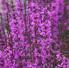 Lythrum virgatum 'Dropmore Purple' (loosestrife)