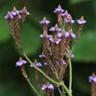 Verbena 'Lavender Spires' (verbena)