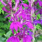 Lobelia x speciosa 'Hadspen Purple' (PBR) (lobelia)