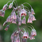 Nectaroscordum siculum (Sicilian honey garlic bulbs)