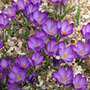 Crocus 'Ruby Giant' (crocus bulbs)