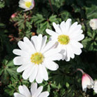 Anemone blanda 'White Splendour' (wood anemone bulbs)