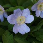 Anemone nemorosa 'Robinsoniana' (windflower bulbs)