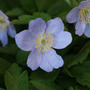 Anemone nemorosa 'Robinsoniana' (windflower bulbs)