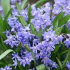 Chionodoxa luciliae (glory of the snow bulbs)