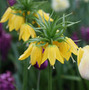 Fritillaria imperialis 'Lutea' (crown imperial bulbs)