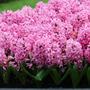 Hyacinthus orientalis 'Pink Pearl' ('prepared' hyacinth bulbs)