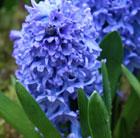 Hyacinthus orientalis 'Delft Blue' (garden hyacinth bulbs)
