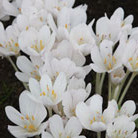 Colchicum autumnnale 'Album' (autumn crocus bulbs)