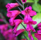 Gladiolus italicus (gladiolus bulbs)