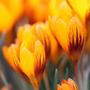 Crocus chrysanthus 'Zwanenburg Bronze' (species crocus bulbs)