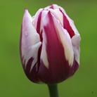 Tulipa 'Rems Favorite' (triumph tulip bulbs)