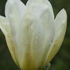 Magnolia 'Elizabeth' (magnolia)