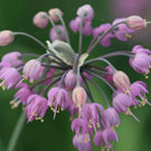 Allium cernuum (nodding onion bulbs)