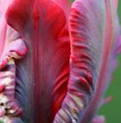 Tulipa 'Rococo' (parrot tulip bulbs)