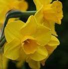 Narcissus 'Trevithian' (jonquilla daffodil bulbs)