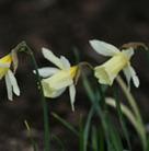 Narcissus 'W.P. Milner' (dwarf trumpet daffodil bulbs)