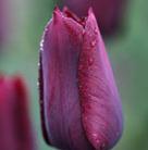 Tulipa 'Indian Velvet' (single late tulip bulbs)