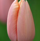 Tulipa 'Menton' (single late tulip bulbs)