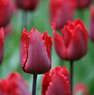 Tulipa 'Red Hat' (fringed tulip bulbs)