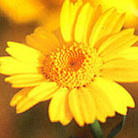 Glebionis segetum (corn marigold (syn. Chrysanthemum segetum ))