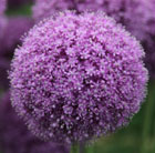 Allium giganteum (ornamental onion bulbs)