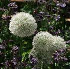 Allium stipitatum 'Mount Everest' (allium bulbs)