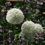 Allium stipitatum 'Mount Everest' (allium bulbs)