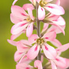 Francoa sonchifolia 'Pink Bouquet' (bridal wreath)