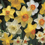 mixed daffodil collection