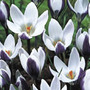Crocus 'Ladykiller' (species crocus bulbs)
