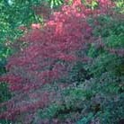 Euonymus alatus (winged spindle / fire bush)