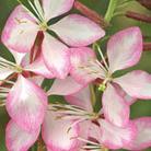 Gaura lindheimeri 'Rosyjane' (PBR) (gaura)