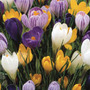 large flowering crocus