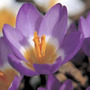 Crocus sieberi subsp. sublimis 'Tricolor' (crocus bulbs)