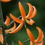 Lilium 'Orange Marmalade' (turkscap lily)