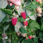 raspberry 'Tulameen' (raspberry   summer fruiting)