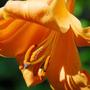 Lilium 'African Queen' (lily African Queen bulb)